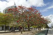 African coral tree (Erythrina caffra), Park of Nations, Lisbon, Portugal