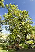 Ombu (Phytolacca dioica), Estrela garden, Lisbon, Portugal
