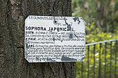 Label on a Japanese pagoda tree (Sophora japonica), University botanic garden, Lisbon, Portugal