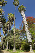Erythrine (Erythrina sp), Palmier (Livistona sp), Palmier (Washingtonia sp), Jardin botanique de l'Université, Lisbonne, Portugal