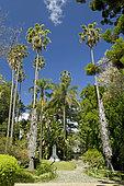 Mexican fan palm (Washingtonia robusta), queen palm (Syagrus romanzoffiana), University botanic garden, Lisbon, Portugal