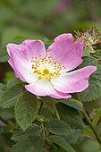 Pillnitzer Vitamin-Rose (Rosa x salaevensis 'PiRo3')