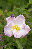 Wild form of French rose (Rosa gallica)