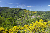 Common broom (Cytisus scoparius), in the background Neuviller-la-Roche village, Bas-Rhin, Alsace, France