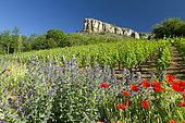 Viper's bugloss (Echium vulgare) and Common poppy (Papaver rhoeas), Roche de Solutré, Solutré-Pouilly, Saône-et-Loire, France