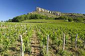Chardonnay vines (Vitis vinifera), Roche de Solutré, Solutré-Pouilly, Saône-et-Loire, France