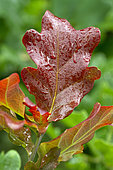 Young reddish leaf (due to anthocyanins) of bach Oak (Quercus robur)