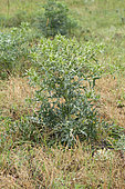 Field eryngo (Eryngium campestre)