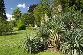 Curve-leaf yucca (Yucca gloriosa var. tristis), Jardin Lecoq, Clermont-Ferrand, Puy-de-Dôme, France. Syn.: Yucca recurvifolia