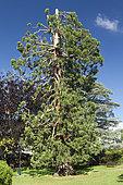 Giant redwood ((Sequoiadendron giganteum) having lost its top, Jardin Lecoq, Clermont-Ferrand, Puy-de-Dôme, France