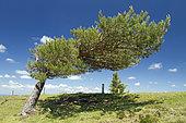 Scots pine (Pinus sylvestris) deformed by the wind, Puy Pariou, Puy-de-Dôme, France
