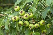 Wild pear (Pyrus pyraster) Syn.: Pyrus communis subsp. pyraster
