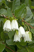 White lantern tree (Crinodendron patagua) flowers