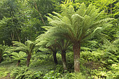 Soft tree fern (Dicksonia antartica)