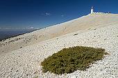 Dwarf juniper (Juniperus communis nana), Mont Ventoux, Vaucluse, France