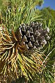Montain pine (Pinus uncinata), Mont Ventoux, Vaucluse, France