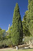 Mediterranean cypress (Cupressus sempervirens) Rocher des Doms, Avignon, Vaucluse, France