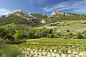Vine (Vitis vinifera) in front of Dentelles de Montmirail, Lafare, Vaucluse, France