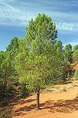 Maritime pine (Pinus pinaster), Colorado de Rustrel, Vaucluse, France