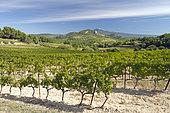 Vine (Vitis vinifera) with Mont Ventoux at the bottom, Beaumes-de-Venise, Vaucluse, France
