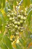 Soap nut tree (Sapindus mukorossi) fruits