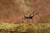 Grasshopper(Tettigoniidae sp) larval stage on a branch, Andasibe (Périnet), Alaotra-Mangoro Region, Madagascar