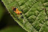 Masked hunter (Reduviidae sp) aspiring inside an ant, Andasibe (Périnet), Alaotra-Mangoro Region, Madagascar