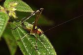 Bush katydid (Tettigoniidae, Phaeneropterinae sp) on a leaf, Andasibe (Périnet), Région Alaotra-Mangoro, Madagascar