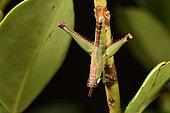 Grasshopper (Euschmidtiidae sp) on a twig, Andasibe (Périnet), Région Alaotra-Mangoro, Madagascar