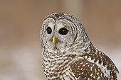 Barred Owl (Strix varia), Ontario, Canada