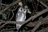 Southern White-faced Owl (Ptilopsis granti), Chobe, Botswana