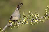 Gambel's Quail (Callipepla gambelii) male perched on flowering branch, Arizona, USA