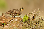 Northern Bobwhite (Colinus virginianus) female, Texas, USA