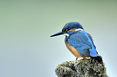 CommonKingfisher (Alcedo atthis) on a branch, secondary arm of the Loire, France
