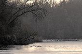Grues cendrées (Grus grus) au repos, une compagnie de Sangliers d'Eurasie (Sus scrofa) traversant la Loire au premier plan, France