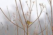 Bruant proyer (Emberiza calandra) sur une branche, bord de Loire, France