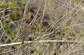 European robin (Erithacus rubecula) on a branch at the edge of a secondary arm of the Loire, France