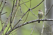Siberian Chiffchaff (Phylloscopus collybita) on a branch, alluvial forest of the Loire, France