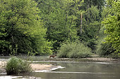Deer (Capreolus capreolus) female crossing a secondary branch of the Loire River, France