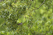Blackcap (Sylvia atricapilla) female in the willows, Alluvial Forest of the Loire, France