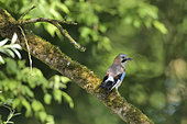 Eurasian jay (Garrulus glandarius) collecting material for its nest, alluvial forest of the Loire, France