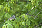Blackcap (Sylvia atricapilla) male, Alluvial Forest of the Loire, France