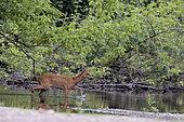 Roe deer (Capreolus capreolus) female crossing an arm of Loire in water in spring, France
