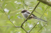 Long-tailed tit (Aegithalos caudatus) on a branch, alluvial forest of the Loire, France