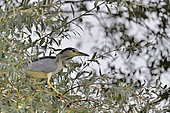 Night Heron (Nycticorax nycticorax) near its heron nesting colony on the Loire, France