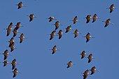 Common cranes (Grus grus) flying over Gallocanta lagoon, Zaragoza, Aragon, Spain