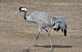 Common crane (Grus grus) moving along Gallocanta lagoon, Zaragoza, Aragon, Spain