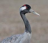 Common crane (Grus grus), Gallocanta lagoon, Zaragoza, Aragon, Spain