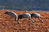 Common Cranes (Grus grus) looking for worms in freshly returned plows. Gallocanta Nature Reserve, Zaragoza, Aragón, Spain