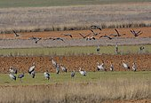 Common Cranes (Grus grus) looking for food in the fields in the morning, Gallocanta Nature Reserve, Zaragoza, Aragon, Spain
